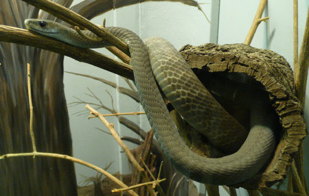 black mamba snake in zoo identify poisonous snakes