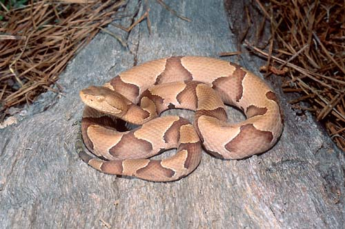 copperhead snake how to identify poisonous snakes