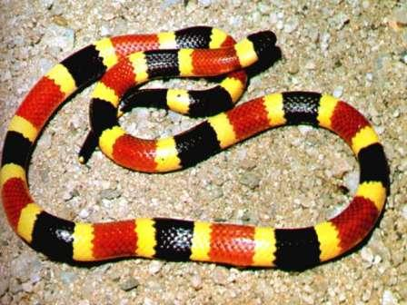 coral snake guide to snakes close up photo