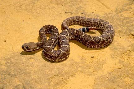diamondback rattlesnake in desert how to identify rattlesnake