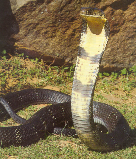 king cobra close up how to identify snakes