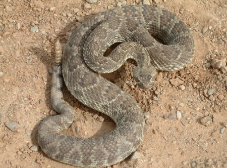 mojave rattlesnake how to identify rattlesnakes and snakes