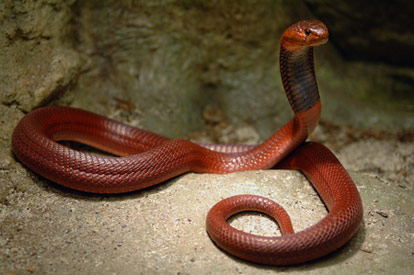 red spitting cobra identify poisonous snakes