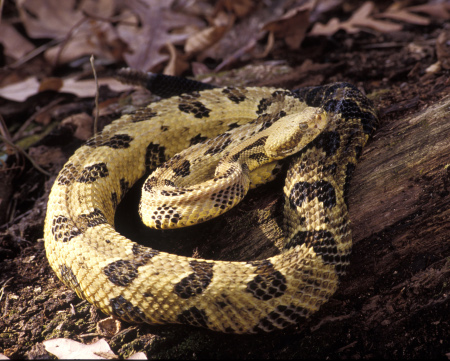 timber rattlesnake how to identify rattlesnakes