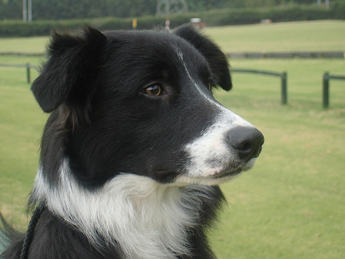 border collie dog breed close up head face