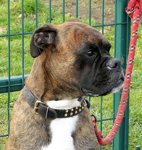 boxer dog leashed to fence choosing companion
