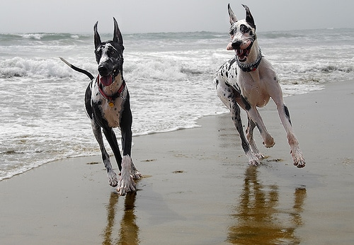 great danes dog breed running on beach