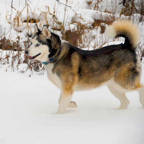 siberian husky walking in snow tail curled