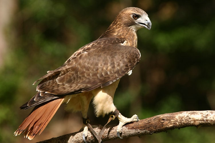 Falcon sitting on tree branch.