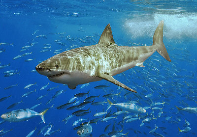 great white shark how to survive attack
