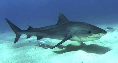 tiger shark how to survive attack