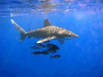 Oceanic Whitetip Shark how to survive attack