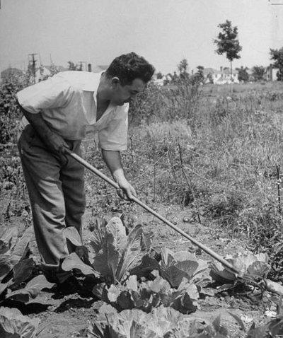 Vintage man working in garden tilling soil.