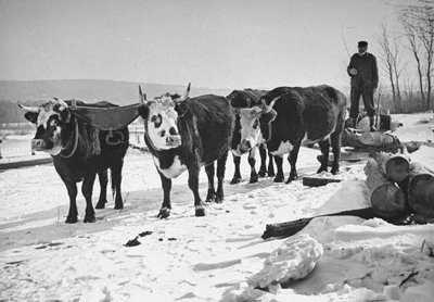 Vintage man leading oxen team on a snow.