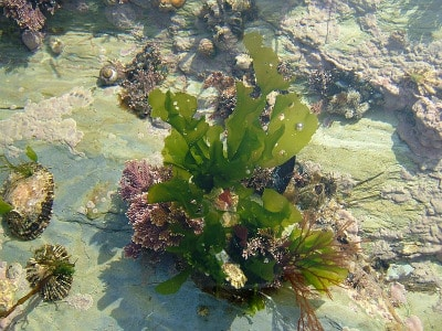 green seaweed plant in wild common edible plants