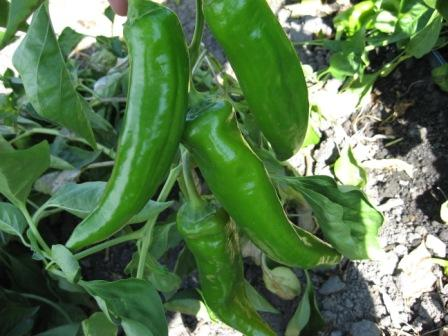 anaheim chile growing on plant