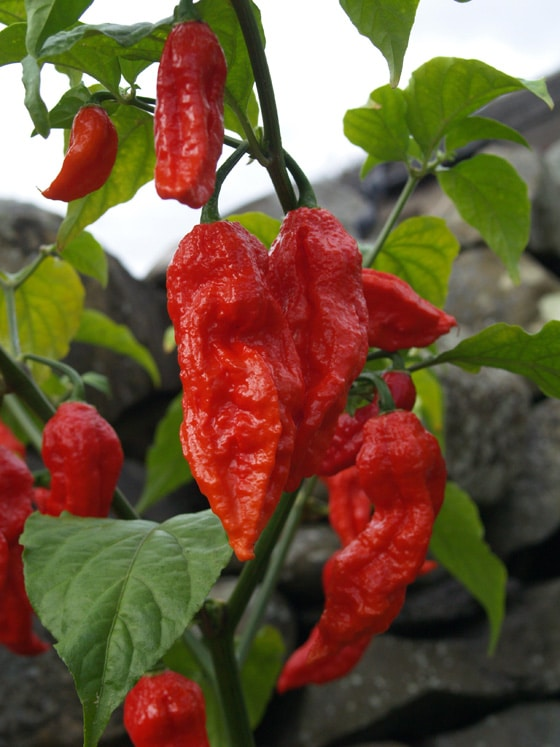 Red ghost chili peppers growing on plants.