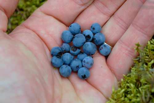 fresh blueberries in hand outdoors trip eating