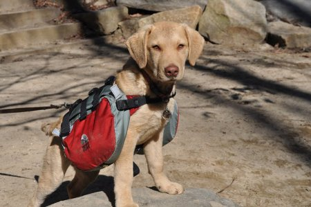 Dog wearing backpack.