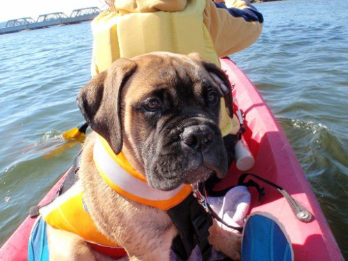 dog with life jacket in kayak on water