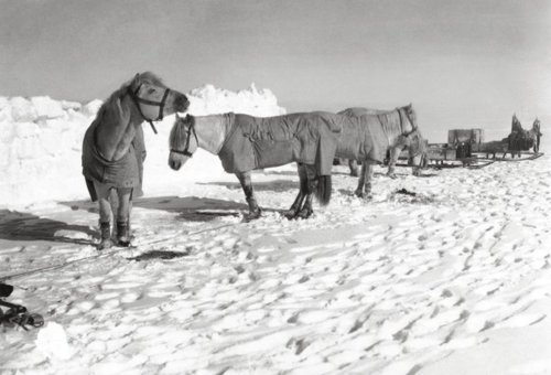 scott antarctic expedition ponies for hauling sleds