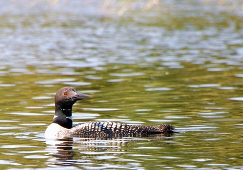 loon minnesota state bird on lake bwca