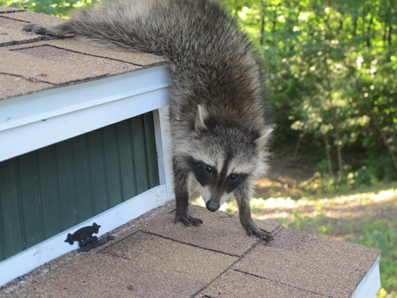 Raccoon trying to figure out a way into the coop.