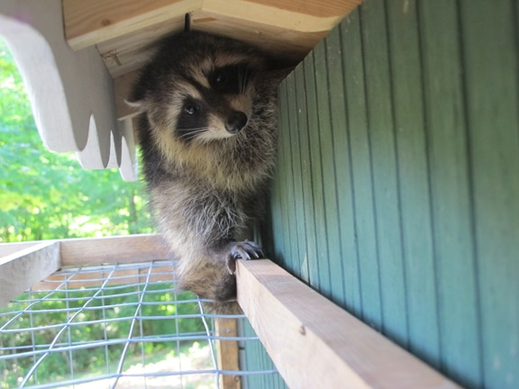 Raccoon trying to slip through crack in coop.