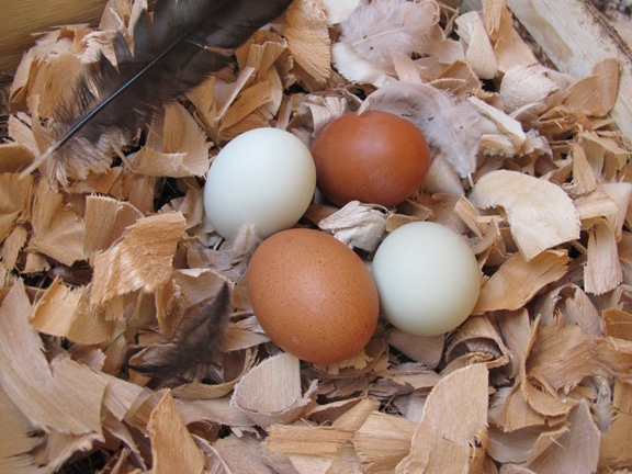 fresh hen eggs white brown on wood shavings