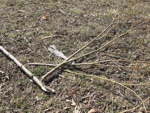 sapling-trimmed-down