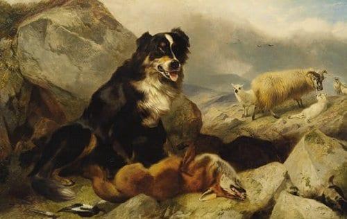 Sheepdog painting sheep looking on dead fox.