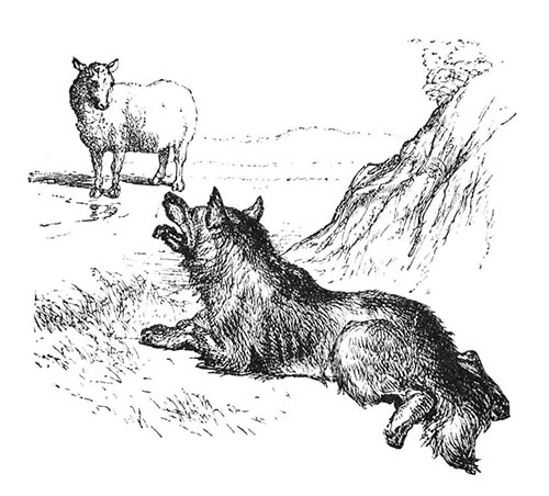 illustration wolf lying on ground looking at sheep