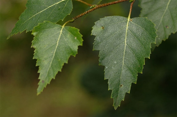 white birch oval leaves with pointed tips