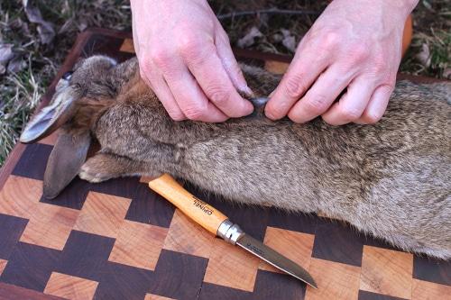 rabbit being field dressed pinch skin