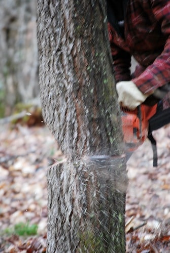 man sawing down tree in forest with chainsaw close up action shot
