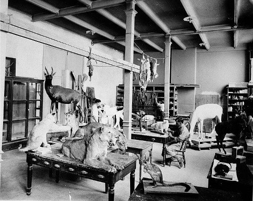 teddy theodore roosevelt taxidermy trophy room