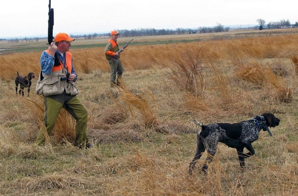 Two German Shorthaired Pointers locating pheasants