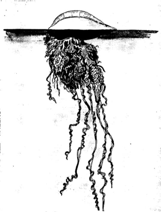 PORTUGUESE Man of War illustration.