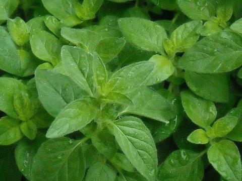Oregano Herbs.