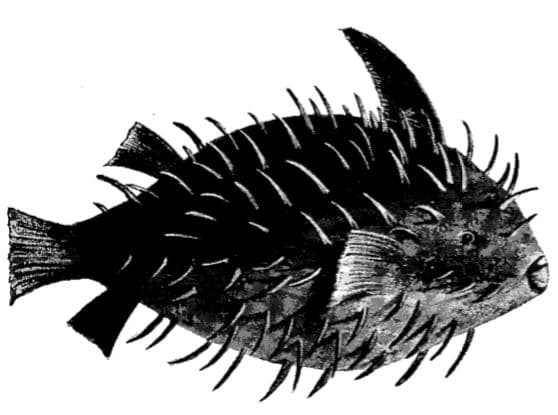 Sea Porcupine illustration.