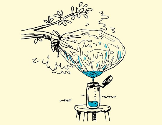 collecting water from plant transpiration illustration