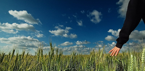Man walking through wheat field with blue sky.