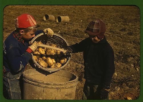 Vintage young boys harvesting potatoes into bucket.