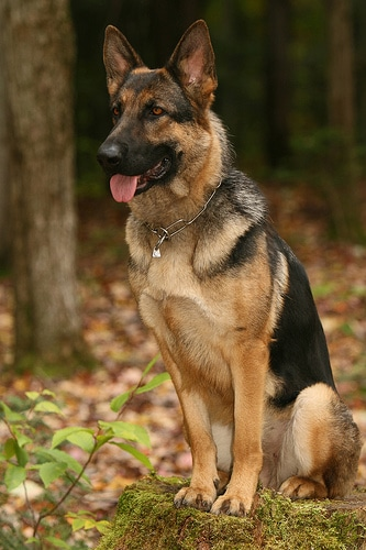 german sheperd dog breed sitting outside in woods