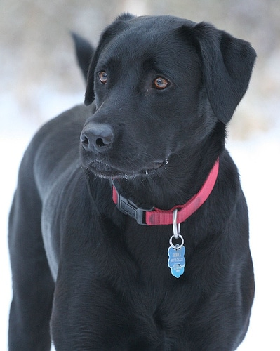 young labrador retriever black with collar and tag