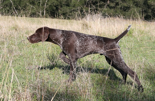 Red Deer Gun Dogs