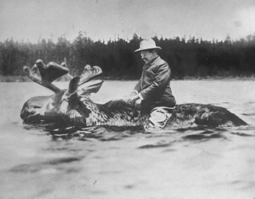 Theodore Roosevelt riding bull moose in water.