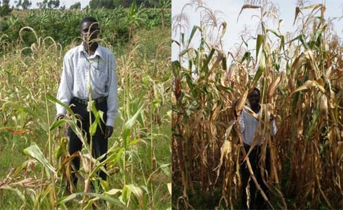Nuru Internation Crop Results farmer in corn