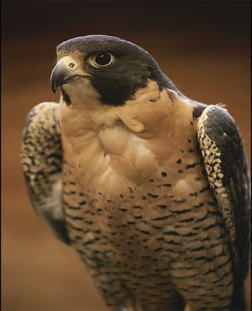 peregrine falcon close up photo