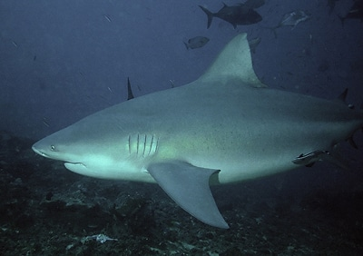 bull shark how to survive attack